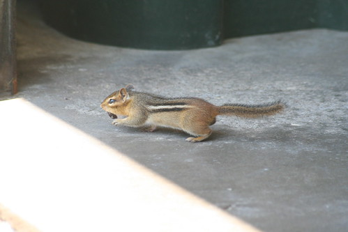 eastern ground squirrel (1)