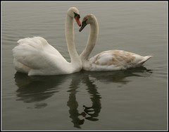 Love on the water .. parent child reflections (kjlast) Tags: uk england cute bird love birds loving canon happy 350d rebel xt countryside kent swan child heart sweet young swans card valentines rebelxt waterfowl inlove clintons cygnusolor countrypark leybourne snodland theyaremine superbmasterpiece incrediblenature betterthangood goldstaraward llovemypic pleasedontusethisimageonwebsites blogsorothermediawithoutmyexplicitpermissionthesephotosarentfree pleaserespectthatallrightsreserved