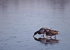 ducks on ice (chris.bartley) Tags: ice ducks frozenlake