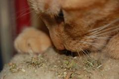 DSC_0003 (theartofmegan) Tags: cat high furry kitty megan catnip dizzy fuzz nip diz theartofmegan lacore