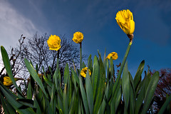 Monster Daffodils (Philipp Klinger Photography) Tags: park blue light sky sun flower macro green up monster yellow clouds germany deutschland spring hessen close frankfurt daffodil bloom hesse grneburg dcdead