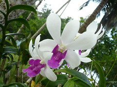orchid (suzanne monday) Tags: wedding thailand kohkut ryannis