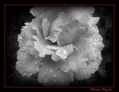 Rose B&W (FotoManiacNYC) Tags: flower rose garden blueribbonwinner diamondclassphotographer flickrdiamond thebestofday gnneniyisi waterdropsmacros