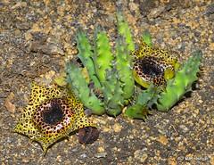 Huernia guttata subsp. calitzdorpensis flowers (Martin_Heigan) Tags: camera flower macro nature digital southafrica succulent nikon close martin little photograph d200 dslr guttata ssp subsp asclepiadaceae suidafrika huernia 60mmf28micro asclepiad stapeliad nikonstunninggallery heigan calitzdorp succulentkaroo wsnbg 24march2008 mhsetstapeliads mhsetflowers mhsetkaroo calitzdorpensis