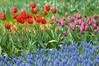 郁金香 Tulip (Poorfish) Tags: tulip wuhan botanicalgarden hyacinth eastlake 武汉 grapehyacinth 郁金香 东湖 风信子 葡萄风信子 武汉植物园 gettychinaq2