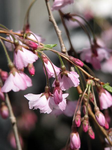 042408 Pink Tree 02