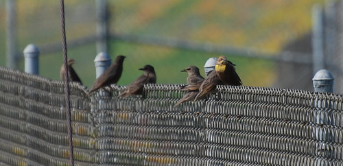 Flock of yellow-headed blackbirds, Xanthocephalus xanthocephalus_0112