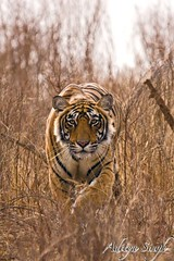 Stalking head on (dickysingh) Tags: india nature outdoor tiger bigcat aditya predator ranthambore singh dicky bengaltigers tigerkill specanimal pantheratigristigris wildtigers flickrplatinum stalkingtiger naturewatcher bfgreatesthits adityasingh ranthamborebagh theranthambhorebagh ranthambhoretigerreserve goldstaraward