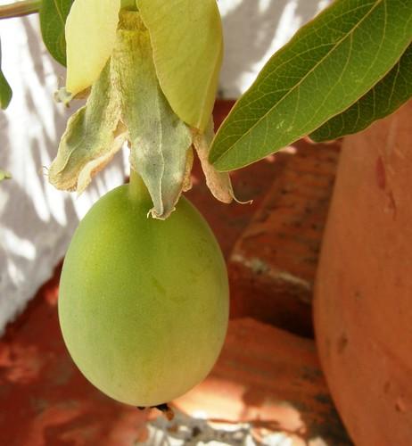 fruto de pasionaria