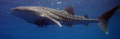 07. The first whale shark we have ever seen in nearly 50 dives...this thing was easily 15-20 feet long (taken by some German guy on our boat)