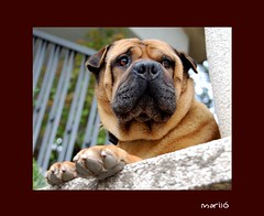 Guapooooo ! ! !  -- EXPLORE (Maril Irimia) Tags: dog sharpei ran mascota peroo animalesdomsticos