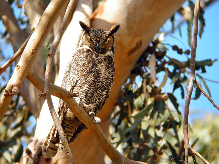 Great Horned Owl 04091-3