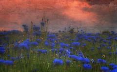 Cornflower Sunset (Roamer 57 (Not Around Much)) Tags: blue red sky green texture nature clouds cornflowers theworldwelivein supershot mywinners abigfave impressedbeauty vanagram magicunicornverybest