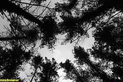 heart of the forest - el corazón del bosque (minidreamer ♫) Tags: wood trees blackandwhite naturaleza blancoynegro nature beauty forest landscape peace arboles branches paz tranquility natura paisaje bosque stillness tops copas belleza ramas tranquilidad quietud heartoftheforest copasdeárboles topsoftrees canoneos550d corazondelbosque