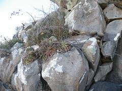 Mammillaria muehlenpfordtii and Ferocactus histrix (amantedar) Tags: cactus ferocactus mammillaria ferocactushistrix mammillariamuehlenpfordtii