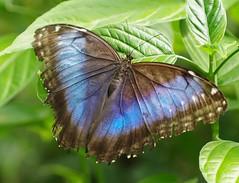 ROLY9709 - le Morpho peleides (Morpho bleu) papillon papillons butterfly butterflies   Mariposas farfalle    (Rolye) Tags: france butterfly yahoo google image pentax butte