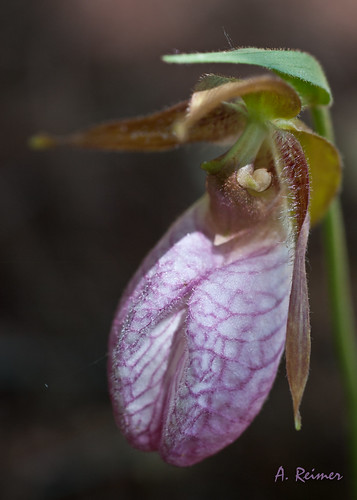 Lady's Slipper 1