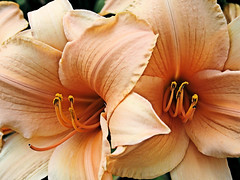 GoodBye! (Just Me Angel-e) Tags: orange flower lily joesplace naturesfinest blueribbonwinner naturefinest freenature eperke defendersmacro bicul eliteshaingpool everywhwerewalks