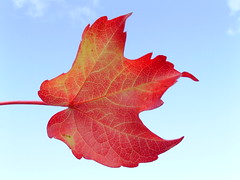 12529 EXPLORE beautiful leave (Rolye) Tags: sky france leave nature photoshop photo yahoo google interesting flickr view shot photos shots live gorgeous famous samsung www images technorati views dreams excellent bloglines extraordinaire msn fav picturesque aol baidu thebest ops smrgsbord takeabow imagesgooglecom naturesfinest  flickrphotos   supershot yahoophotos outstandingshots nv7 mywinners samsungnv7ops superbmasterpiece megashot nv7ops theunforgettablepictures theunforgettablepicture naturewatcher theperfectphotographer goldstaraward imagesyahoocom rolye rubyphotographer qualitypixels llovemypics taggalaxycom sinogoo