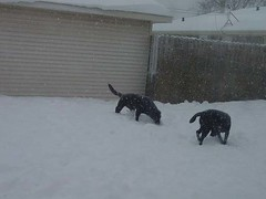 Labs ball searching in the snow