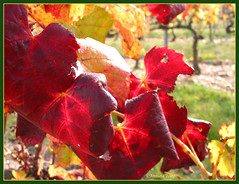 Oktober ( Annieta  Off / On) Tags: autumn red oktober sun france color colour macro fall nature canon french ilovenature leaf october colore outdoor couleurs herfst natuur powershot grapes g2 frankrijk rood zon soe couleur allrightsreserved octobre 2007 ilovephotography 1on1 kleur powershotg2 canonpowershotg2 millery annieta theworldthroughmyeyes thebiggestgroup kakadoo multicoloredobject masterphotos flickrgold autonno shieldofexcellence anawesomeshot citrit bochoven vanbochoven druivenblad usingthisphotowithoutpermissionisillegal