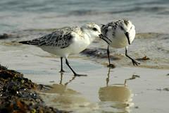 Sanderlings, Plum Island, MA (flyingibis) Tags:
