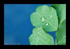 Rocio (SKUATIN) Tags: macro flora drop gota rocio