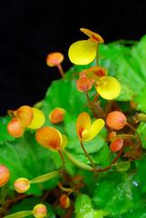 Begonia prismatocarpa (Eric Hunt.) Tags: orange flower yellow miniature begonia begoniaceae orchidarium ubcbotanyphotooftheday begoniaprismatocarpa taxonomy:genus=begonia taxonomy:binomial=begoniaprismatocarpa