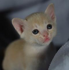 Darcy (fenlandsnapper) Tags: topf25 500v50f 50100fav burmese darcy 4weeksold elkhead canonef100mmf28macrousm cc2500 cat1000 bestofcats burmesekittens