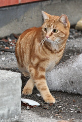 orange guy front (Laurie_P) Tags: cats lostcat feralcat straycats alleycats abandonedcat homelesscats