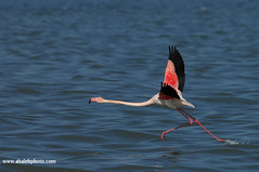Greater Flamingo (MOHAMMED AL-SALEH) Tags: bird birds flamingo greater kuwait  greaterflamingo phoenicopterusroseus mohammad  naturesfinest   vwc   animalkingdomelite colorphotoaward alsaleh