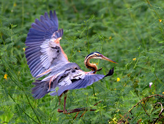 Purple Heron (Rey Sta. Ana) Tags: wild bird birds wildlife philippines manila rey avian palawan wildbirds mantarey candaba staana