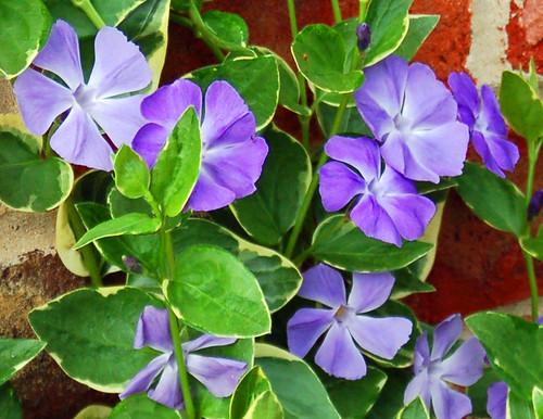Vinka flowers