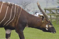CRW_9231 (mjenner10) Tags: animal animals bongo safari longleat bongos safaripark tragelaphuseuryceruseurycerus lowlandbongo westernbongo
