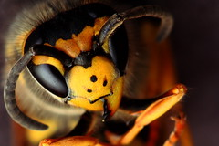 WASP_Alien or Devil (Danpa_76) Tags: black macro eye yellow canon insect eyes vespa wasp alien award insects special occhi giallo 100 mm macros nero arancio insetto insetti smm preferita smmspecialaward goldenaperture preferite01 alienordevil