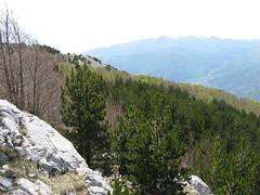 Bosco Pollinello - bosco di giovani Pini Loricato