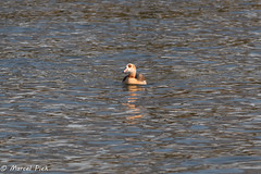 Egyptian Goose (CapMarcel) Tags: egyptian geese goose gans egyptische water flying vliegend zwemmend swimming nikon d500 300mm f28