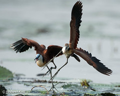 The battle! (Jambo53 ()) Tags: robertkok jambo53 jaca africanjacana birds vogels water chobe northbotswana river rivier battle gevecht behavioral gedrag aves natuur nature wildlife dynamiek action dynamic nikond700 nikkor600f4