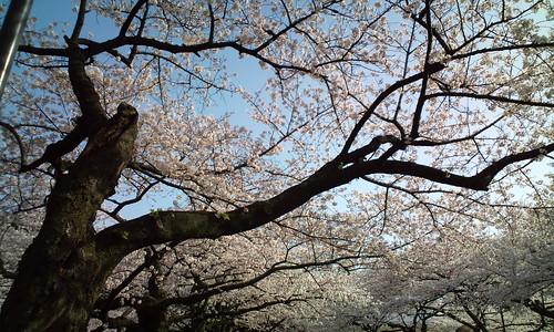 千鳥ケ淵の桜-4