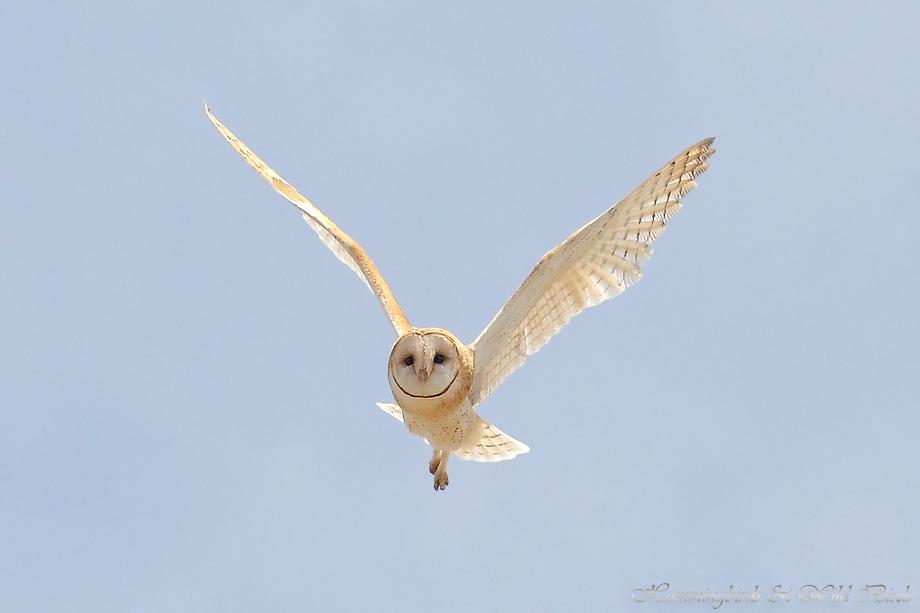 Barn-Owl-051105