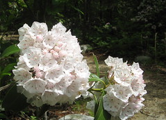 Mountain laurel in bunches Photo