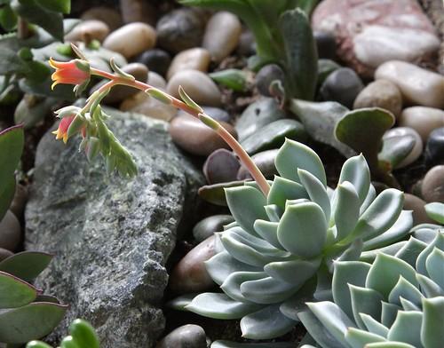 Echeveria elegans (Crassulaceae)