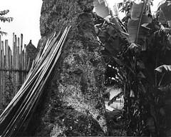 Remains of old mud-brick defensive walls, Kpaiyea, Liberia (West Africa) (gbaku) Tags: africa brick history wall town village mud african bricks villages historical walls liberian liberia defensive towns defense afrique classicblackwhite kpelle afrikas kpaiyea