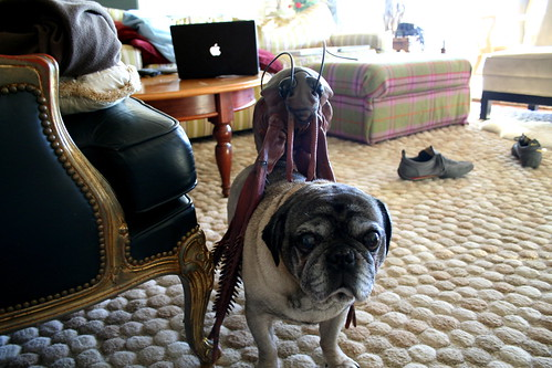 Disinterested Pug And Giant Cockroach