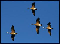 Canada Geese at Sunrise (Blazingstar) Tags: sunrise canadagoose ishotthemwithmycamera