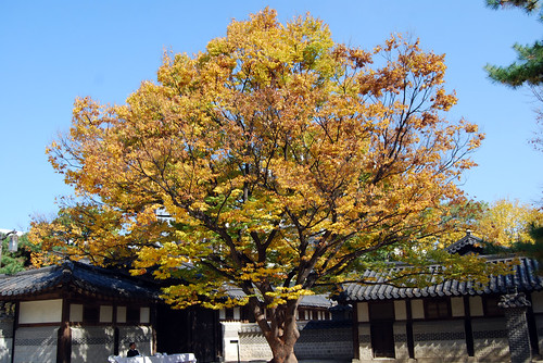 Walnut Tree, Unhyeongung Palace