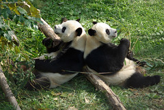 Mei Xiang and Tian Tian are good companions~! (foocheung) Tags: panda nationalzoo pandas tiantian meixiang backtoback taishan mywinners