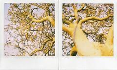 tree 1 (mathias shoots analogue) Tags: tree analog gteborg polaroid sx70 sweden 600 analogue nophotoshop blend