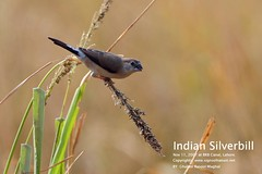 Indian-Silverbill,-11-11-07,-BRB-Canal-Lahore. (GHULAM RASOOL MUGHAL) Tags: pakistan nature birds photography wings wildlife feathers birdwatching naturelovers avianfauna birdsofpakistan ghulamrasoolmughal pakistanwildlife birdsoflahore birdsofbrbcanal bautifulpakistan