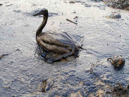 a seabird covered in thick oil stranded on the beach